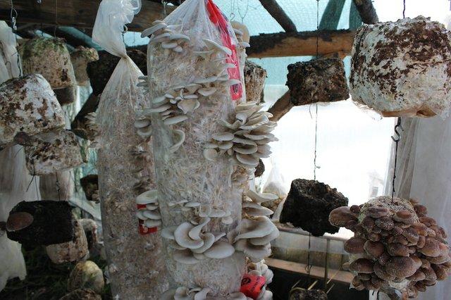 oysters_shiitake_fuiting_chamber.JPG
