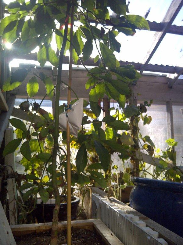 avocado tree.jpg