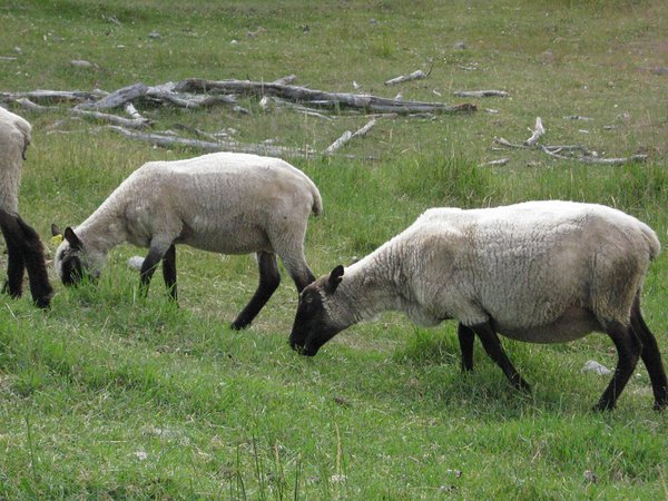 clun forest ewes small.png