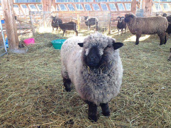 Romney Sheep Small 2.png