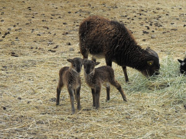 Soay Babies 7.png