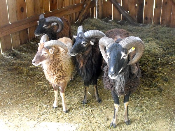 Soay Rams Small 6.png