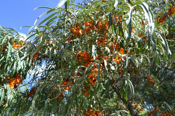 Daniel's Pictures of Seabuckthorn 005.jpg