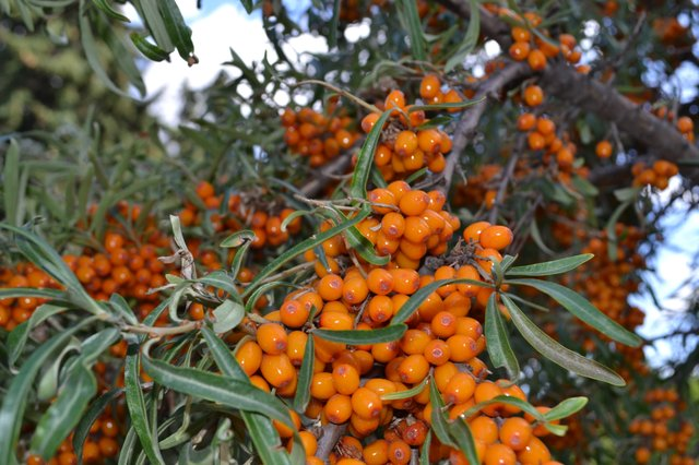 Daniel's Pictures of Seabuckthorn 025.jpg