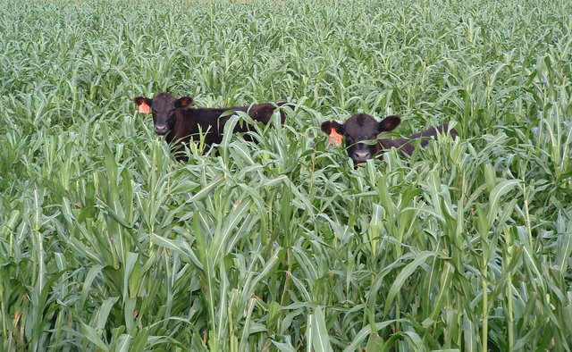 bt_calves_grazing_cover_crop_millet.jpg