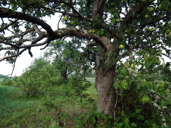 #3. Old Orchard.JPG
