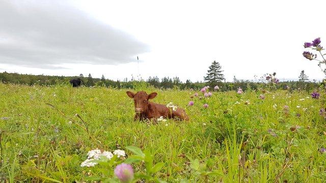 Calf with daisys.jpg