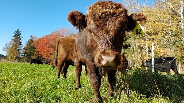Little bull Irwin head on.jpg