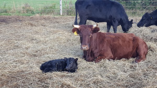 Dexter cow and newborn calf.jpg