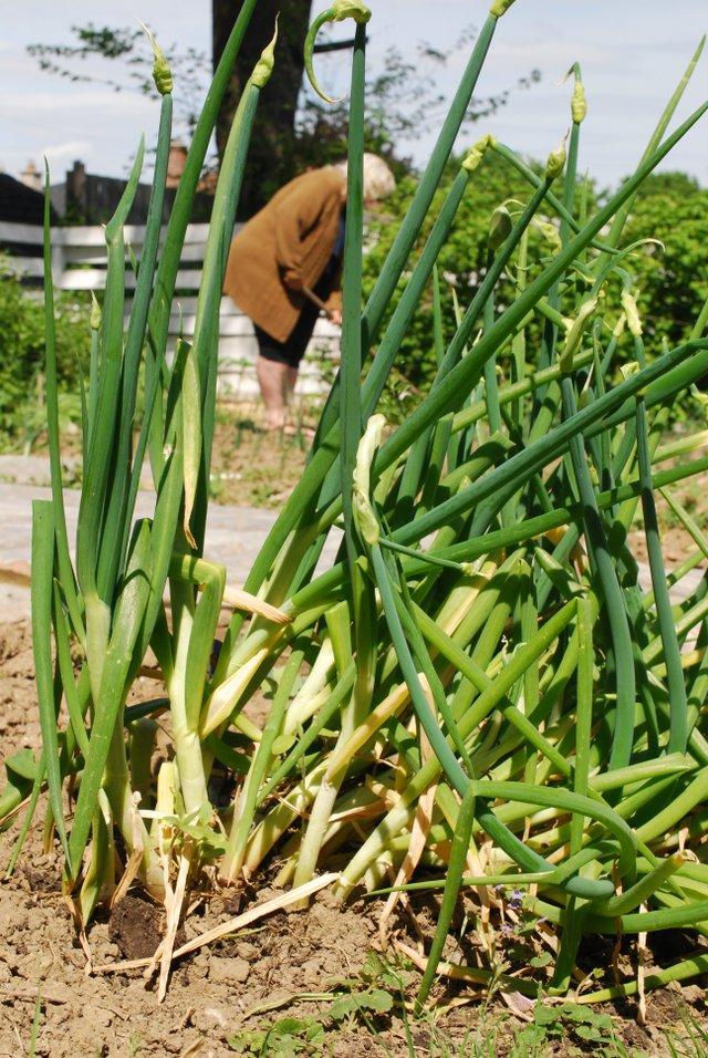 clump of onions.jpg