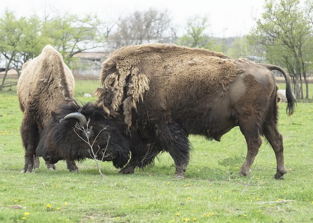 Buffalo bulls sparring.jpg