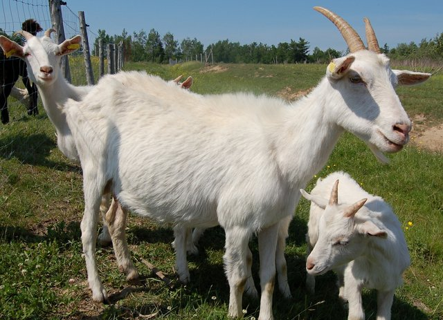 Disbudding goat kids - Small Farm