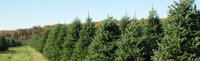 Christmas trees growing on a farm