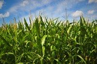 Green corn grass